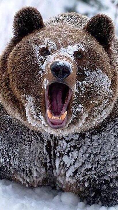Grisley Bear